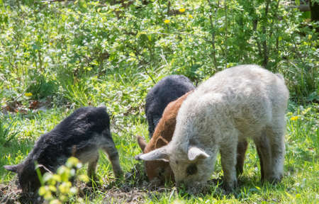 kinky: Young kinky pigs grazing in the grass.