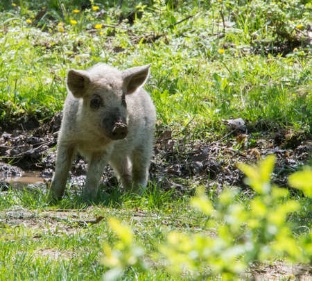 krasnodar region: Young white hairy pig looking at the camera. Breed the hungarian Mangalica. Russia, Krasnodar region. Stock Photo
