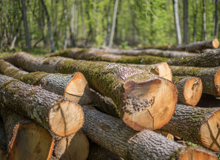 Felled oak trunks in the forest.