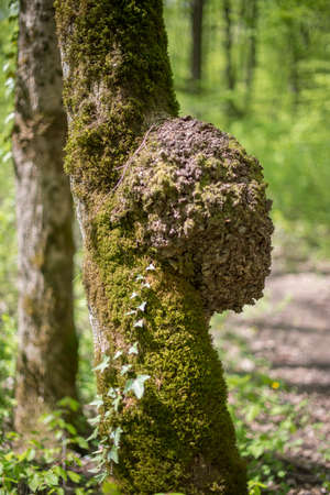 Burl on a tree, covered with moss and a creeper.