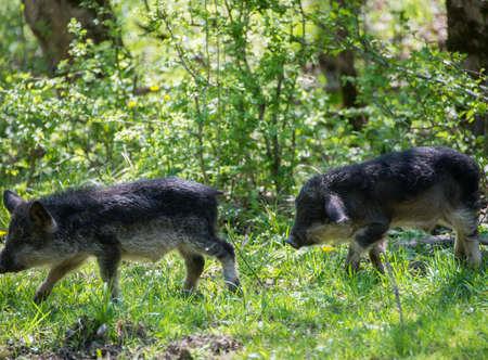 Two running black hairy pigs breed Hungarian Mangalica.