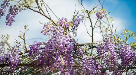 beautiful rare: Carpenter bee (Xylocopa Valga) pollinate purple and lavender wisteria flowers. Selective focus.
