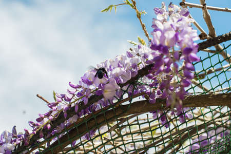 Carpenter bee (Xylocopa Valga) pollinate purple and lavender wisteria flowers. Selective focus.