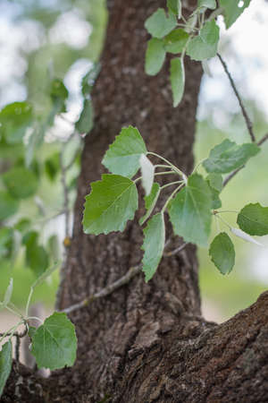 Branch with leaves of aspen (Populus tremula). Selective focus. Banque d'images