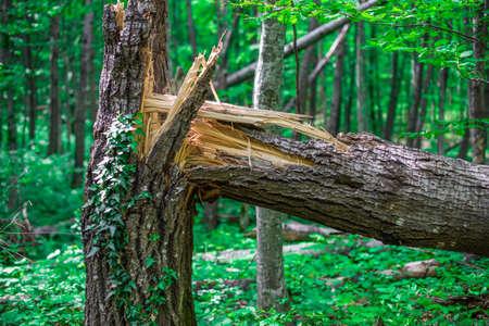 Broken in half old oak braided loach. Stock Photo