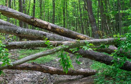 木の幹が散らばっている森の道。