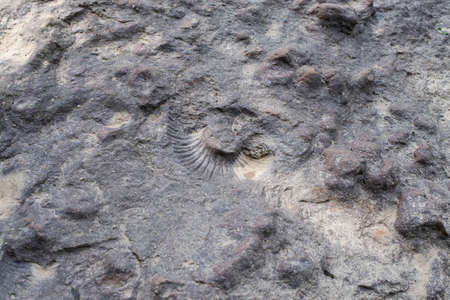 The imprint of a large shell. The print of Ammonite on the rock.