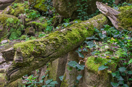 Green leaves of loach braid moss-covered stones and logs. Selective focus. Stock Photo