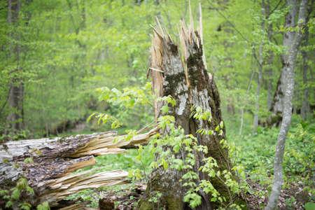 Broken trunk of a rotten tree. Selective focus.