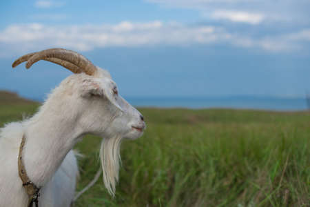 A white goat grazing in a meadow looks towards the sea. Banco de Imagens - 102656149