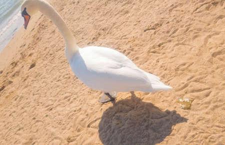 A Swan pooped on a sandy beach. 版權商用圖片
