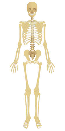 osteoarthritis: Highly detailed human skeleton - front view