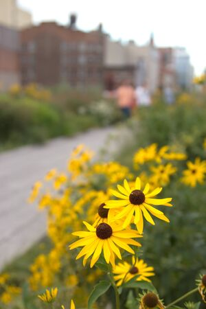 Yellow daisies growing High Line Park, Manhattan, New York, during the Summer.