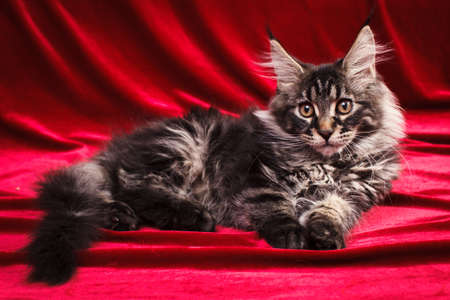 lince rojo: A small 3 mounth maine coon kitten lie, looking forward and attentive eyes, on a red background