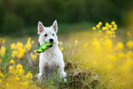 pit fall: Funny West Highland White Terrier Dog Play Outdoor In Green Spring Meadow With Yellow Flowers with a toy in teeth. Playful Pet Outdoors. Stock Photo