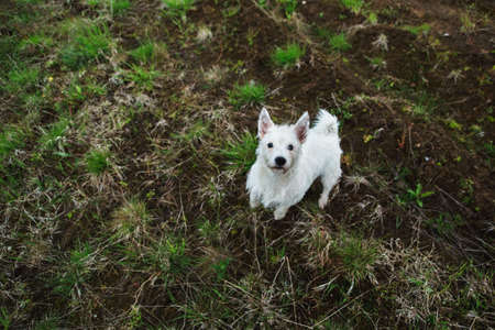 pit fall: Funny yong West Highland White Terrier Dog Play Outdoor In Green Spring Meadow With green grass background, standing and looking at camera