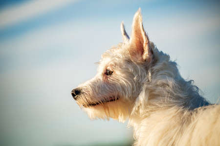 Funny yong West Highland White Terrier Dog, looking aside, close up portrait with blue sky in background