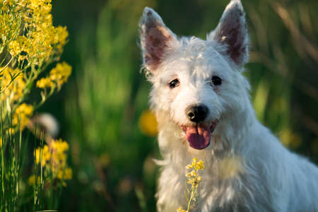 pit fall: West Highland White Terrier dog posing Outdoor In Green Spring Meadow With Yellow Flowers and green grass background Stock Photo