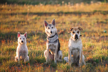 Three dogs sitting on the field Stock Photo
