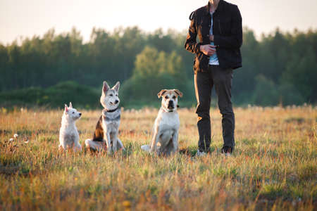 Three dogs, west highland white terrier, mongrel and ca de bou and sitting on the field, near a man in sunset looking at camera, yelow grass background