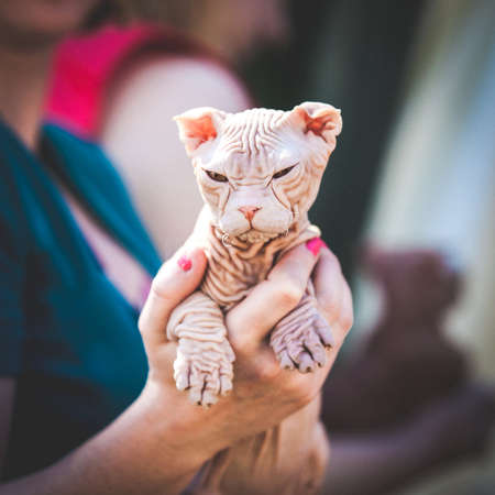 Close-up of anonymous hands holding little hairless Sphynx kitten in sunlight. Stock Photo