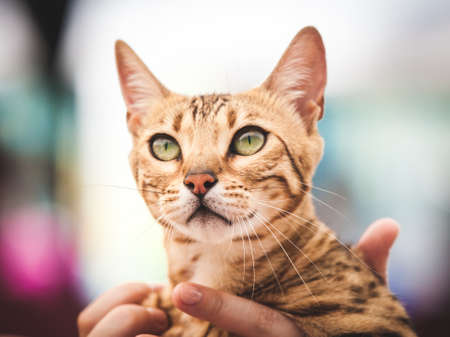 Close-up portrait of gorgeous purebred Bengal cat in hands of anonymous person looking away.