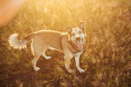 Portrait of beautiful happy dog, looking at camera at nature in sunset Stock Photo
