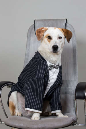 Studio shot of charmed short hair brown and white dog sitting in wedding suite on big chair isolated on light grey background.