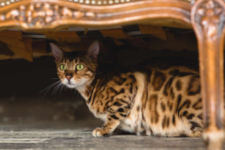 Front view at cute bengal cat lying under the chair on the floor looking at camera in studio.