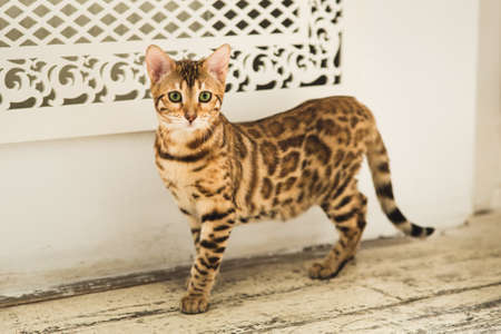Portrait of a cute bengal cat standing on the floor looking at camera in studio.