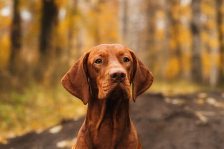 Close up portrait of Hungarian Vizsla sitting outdoors proudly looking forward in autumn park