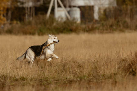 Side view at a big dog running on a meadow. Stock Photo
