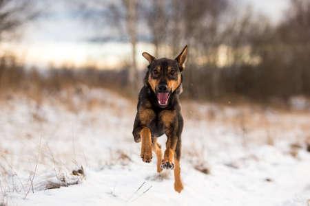Portrait of beautiful dog, jumping and running at camera Stock Photo