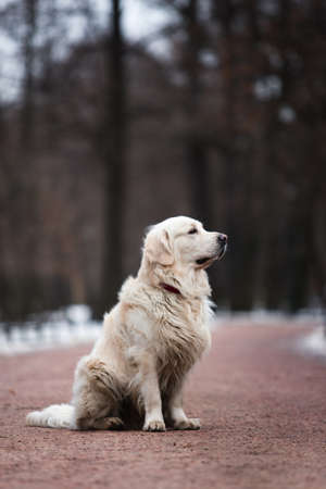 A beautiful, cute golden retriever dog sitting on a sidewalk in a park on a cloudy winter day.