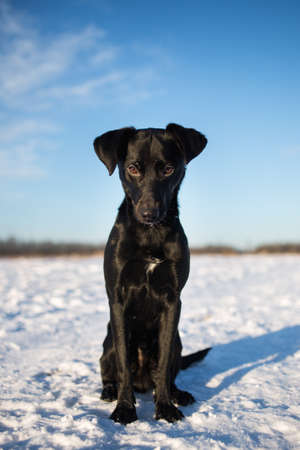 Portrait of beautiful small black dog, looking forward, standing in a sunny meadow in winter.