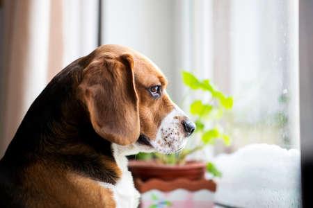 Portrait de chien beagle américain est assis sur la fenêtre et regarde tristement par la fenêtre Banque d'images