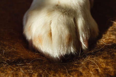 Close up image of a paw of dog american beagle on a plaid. Resting dog's paw.