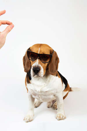 Studio shot of a beautiful american beagle dog sitting in sunglasses, looking at somebody's hand