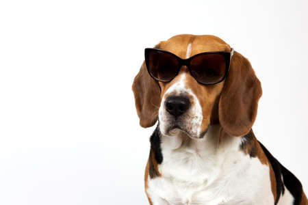 Studio shot of a beautiful american beagle dog sitting in sunglasses, looking at camera Banco de Imagens