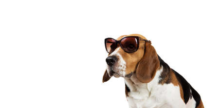 Studio shot of a beautiful american beagle dog sitting in sunglasses, looking aside. Isolated on white