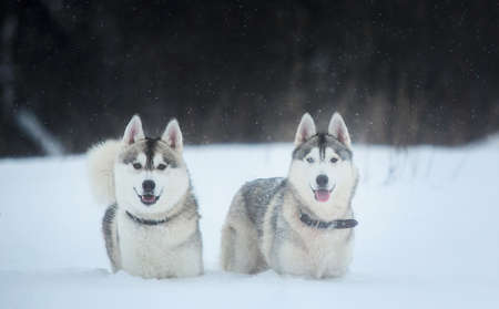 Siberian Husky dogs on winter background. Two amazing husky dogs sitting on the snow. Snowfall, cloudy day