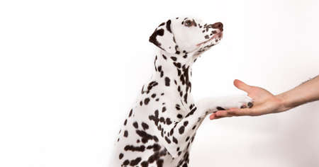 Friendship and partnership between man and dalmatian dog isolated on white