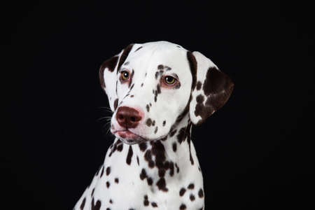 Portrait of Dalmatian dogsitting, looking aside, isolated on black