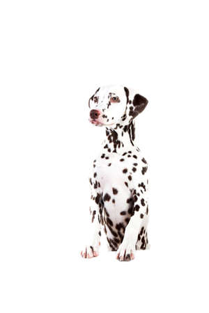Portrait of Dalmatian dogsitting, looking aside, isolated on white