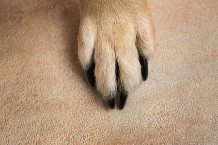 dog feet and legs texture surface. Close up image of a paw of homeless dog. skin texture. Resting dog's paw close up. Stock Photo
