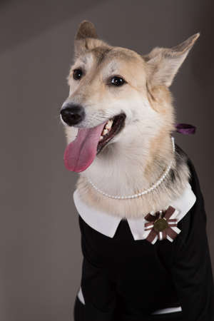 Studio portrait of middle size dog wearing school uniform dress, looking at the camera and sitting, on grey background