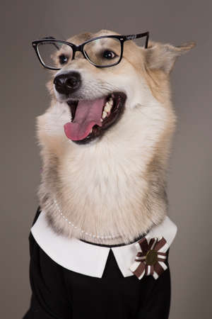 Studio portrait of middle size dog wearing school uniform dress and sunglasses, looking aside and sitting, on grey background