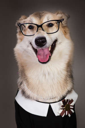 Studio portrait of middle size dog wearing school uniform dress and sunglasses, looking at the camera and sitting, on grey background