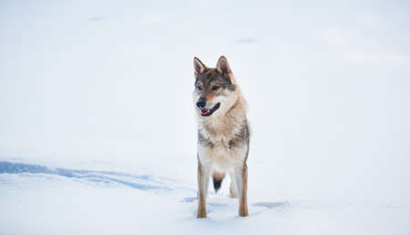 Grey Wolf - Canis lupus standing in a meadow on snow 版權商用圖片