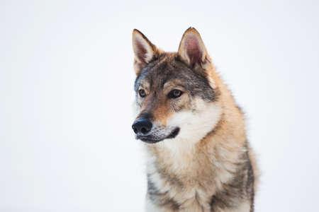 Grauer Wolf - Canis lupus steht auf einer Wiese im Schnee Standard-Bild